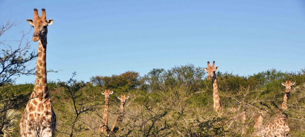cropped-Giraffen_Uffmacher1.jpg