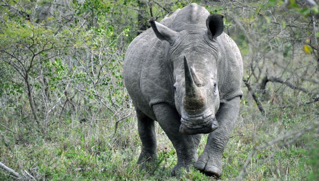 cropped-Rhino.jpg