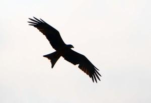 Adler, breit
