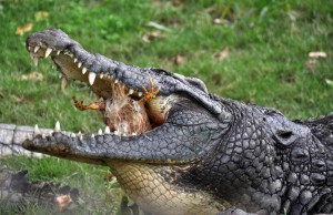 Krokodil mit Huhn